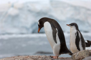 Gentoo Penguins, British base, Port Lockroy, Antarctica by Sergio Pitamitz