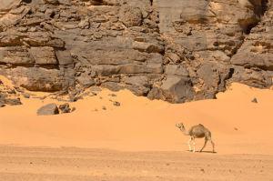Camels, Wadi Teshuinat, Akakus, Sahara desert, Fezzan, Libya by Sergio Pitamitz