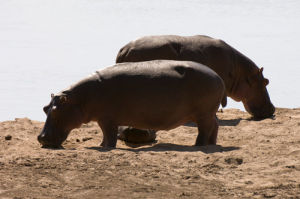 Hippopotamus (Hippopotamus amphibius), Luangwa River, South Luangwa National Park, Zambia by Sergio Pitamitz