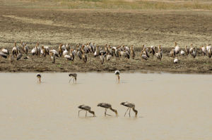 Yellow-billed Storks (Mycteria ibis), Luangwa River, South Luangwa National Park, Zambia by Sergio Pitamitz