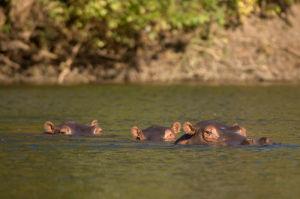 Hippopotamus, Lunga River, Kafue National Park, Zambia by Sergio Pitamitz