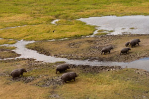 Hippopotamuses, Helicopter flight over Busanga Plains, Kafue National Park, Zambia by Sergio Pitamitz