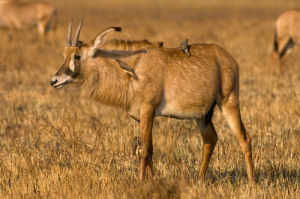 Roan Antelope, Busanga Plains, Kafue National Park, Zambia by Sergio Pitamitz