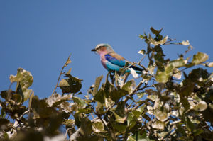 Lilac Breasted Roller, Busanga Plains, Kafue National Park, Zambia by Sergio Pitamitz