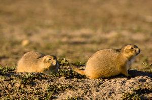 Prairie Dog, Badlands National Park, South Dakota, USA by Sergio Pitamitz