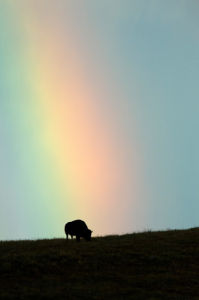 Bison and rainbow, Custer State Park, Black Hills, South Dakota, USA by Sergio Pitamitz