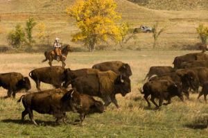 Bison roundup, Custer State Park, Black Hills, Wyoming, USA by Sergio Pitamitz