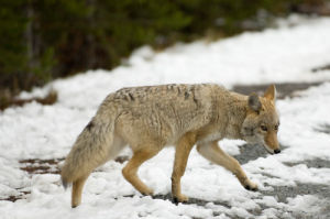 Coyote, Yellowstone National Park, Wyoming, USA by Sergio Pitamitz