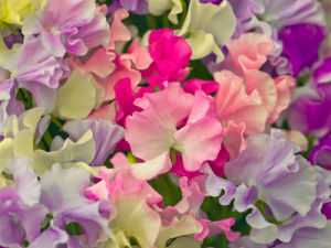 Sweet Peas by Assaf Frank