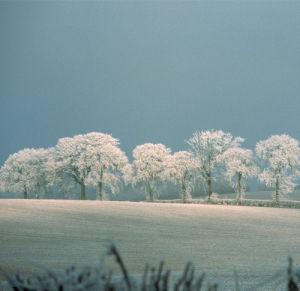 Oak Trees by Carol Sharp