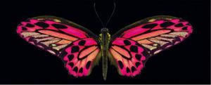 Hybrid Birdwing by Harold Feinstein