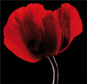Rich Red Poppy by Ian Winstanley