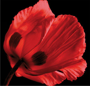 Red Poppy by Ian Winstanley