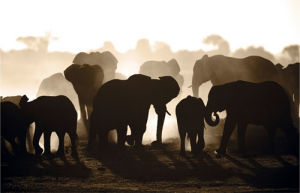 Elephant Herd by Theo Allofs