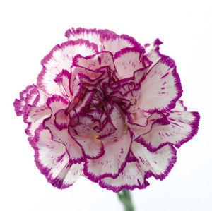 Carnation Creation I by Joseph Eta