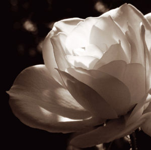 White Rose II by Malcolm Sanders