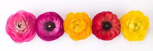 Ranunculus 13 by Assaf Frank