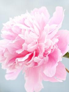 Paeonia 'Pink Cameo' by Sabina Ruber
