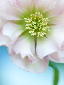 Pale Pink Hellebore by Sabina Ruber