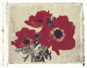 Anemone by Deborah Schenck