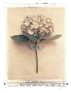 Single Hydrangea by Deborah Schenck