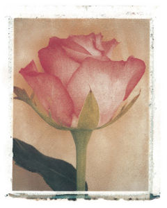 Single Rose by Deborah Schenck