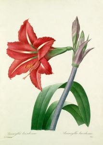 Amaryllis brasilienne, Amaryllis bresiliensis by Pierre Joseph Celestin Redouté