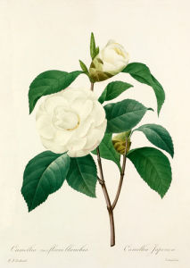 Camellia (var) fleurs blanches: Camellia Japonica by Pierre Joseph Celestin Redouté
