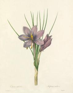 Crocus sativus : Safran cultive by Pierre Joseph Celestin Redouté