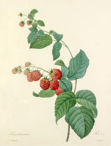 Framboisier : Rubus by Pierre Joseph Celestin Redouté