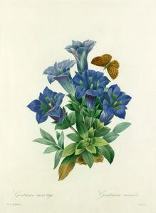 Gentiane sans tige : Gentiana acaulis by Pierre Joseph Celestin Redouté