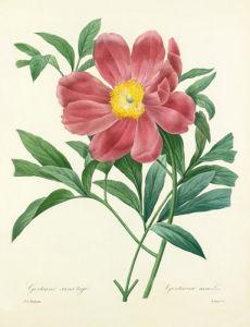 Gentaine sans tige : Gentiana acaulis (mistitled) by Pierre Joseph Celestin Redouté