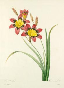 Ixia tricolor : Ixia tricolore by Pierre Joseph Celestin Redouté