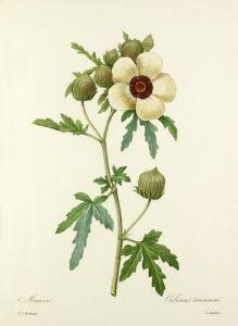 Mauve : Hibiscus trionum by Pierre Joseph Celestin Redouté