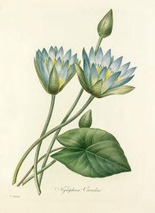 Nymphaea Caerulea by Pierre Joseph Celestin Redouté