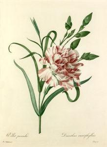 Oeillet panaché : Dianthus cariophyllus by Pierre Joseph Celestin Redouté