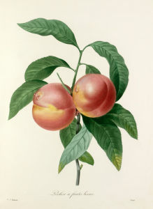 Pêcher à fruits lisses by Pierre Joseph Celestin Redouté