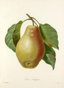 Poire Tarquin by Pierre Joseph Celestin Redouté