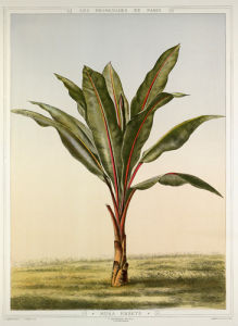 Musa ensete by Francois Frederic Grobon
