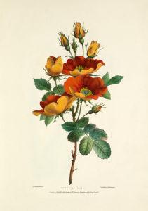 Austrian Rose by Charles Joseph Hullmandel