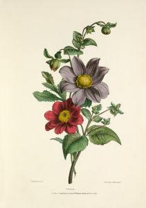 Dahlia by Charles Joseph Hullmandel