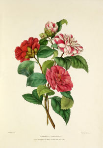 Camellia japonica by Charles Joseph Hullmandel