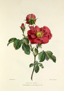 Damask Rose by Charles Joseph Hullmandel