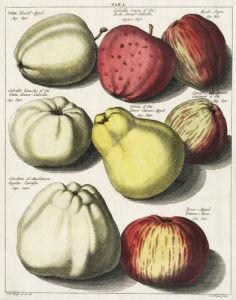 Witte Kruid-Appel by Johann Hermann Knoop