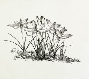 Crocus tommasinianus by Graham Stuart Thomas