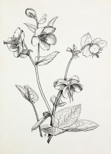 Helleborus lividus by Graham Stuart Thomas