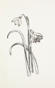 Leucojum vernum by Graham Stuart Thomas