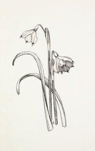 Leucojum vernum by Graham Stuart Thomas