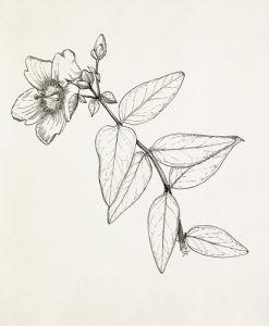 Hypericum 'Hidcote' by Graham Stuart Thomas