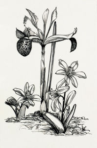 Iris histrio and Scilla mischtschenkoana by Graham Stuart Thomas